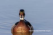 00715-09819 Wood Duck (Aix sponsa) male in wetland Marion Co. IL