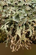 Rag Lichen on top and Antler Lichen hanging down Lichen on top and Antler Lichen hanging down