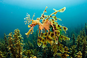 A male Leafy Sea Dragon, Phycodurus eques, heavy with eggs, swims over the sea grass and kelp near the jetty in Edithburgh, South Australia.