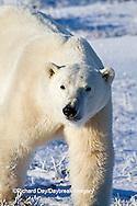 01874-12418 Polar bear (Ursus maritimus) walking in winter, Churchill Wildlife Management Area, Churchill, MB Canada