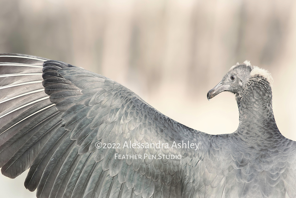 Perched juvenile black vulture, raising wing to the sunshine, appears as though he could be conducting an orchestra. Original photograph with a blend of black and white, color toning and painted effects.