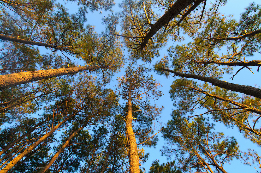 Looking from ground up at tall pine trees.