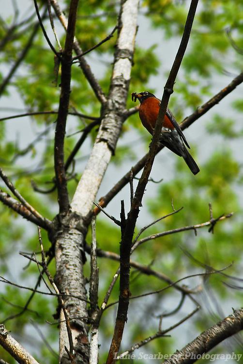 American Robins in Columbus, Ohio.