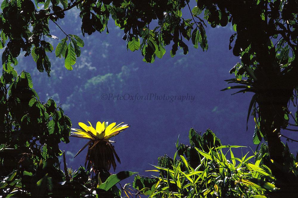 Bromeliad in Canopy<br />Cloud Forest. Manu National Park<br />PERU.  South America
