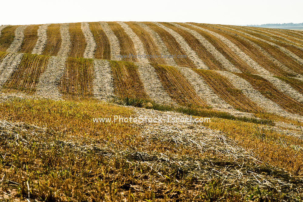 Desert agriculture. Harvested wheat field in the Negev Desert, Israel