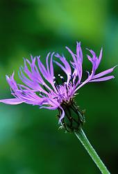 Centaurea montana - Knapweed