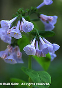 Virginia Bluebells, mertensia virginiana, Bowman's Hill Wildflower Preserve, Philadelphia gardens and arboretums, New Hope, Bucks Co., PA