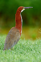 Rufescent Tiger-Heron (Tigrisoma lineatum), Araras Ecolodge,  Mato Grosso, Brazil (Photo: Peter Llewellyn)