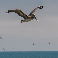 Brown pelicans (Pelecanus occidentalis) hunt for fish, which they catch by diving into the water head first - often from high above the water - stunning their prey and then scooping it up in their huge bills.