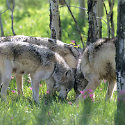 Gray Wolf, (Canis lupus) Pack in aspen grove. Spring. Montana. Captive Animal.