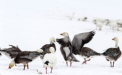 A Flock of snow geese congregate in a snowy field along Highway D