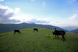 August 4, 2017 - India - Cattle grazing on the lush green meadows at Razdan top, around 100 kilometers from Srinagar, in Badipora district.North kashmir (Credit Image: © Umer Asif/Pacific Press via ZUMA Wire)