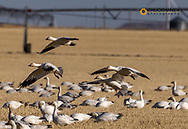 Snow geese feeding in local barley fields during spring migration at Freezeout Lake WMA near Choteau, Montana, USA