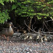 Mallard (Anas platyrhynchos) female or hen with ducklings. Island Lake, Minnesota
