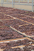 Grapes a laid out for drying and raisin production, which — in this case — will be for winemaking purposes. Pantelleria, Sicily, Italy.