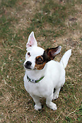 This is William, Chihuahua Jack Russell Cross who likes chasing squirrels.