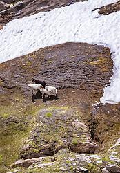 THEMENBILD - Schafe auf einer Bergwiese teilweise mit Schnee bedeckt am Kitzsteinhorn, aufgenommen am 16. Juli 2019 in Kaprun, Österreich // Sheep on a mountain meadow partly covered with snow at the Kitzsteinhorn, Kaprun, Austria on 2019/07/16. EXPA Pictures © 2019, PhotoCredit: EXPA/ JFK