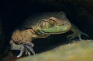 Bullfrog<br /> <br /> Isaac Szabo/Engbretson Underwater Photo