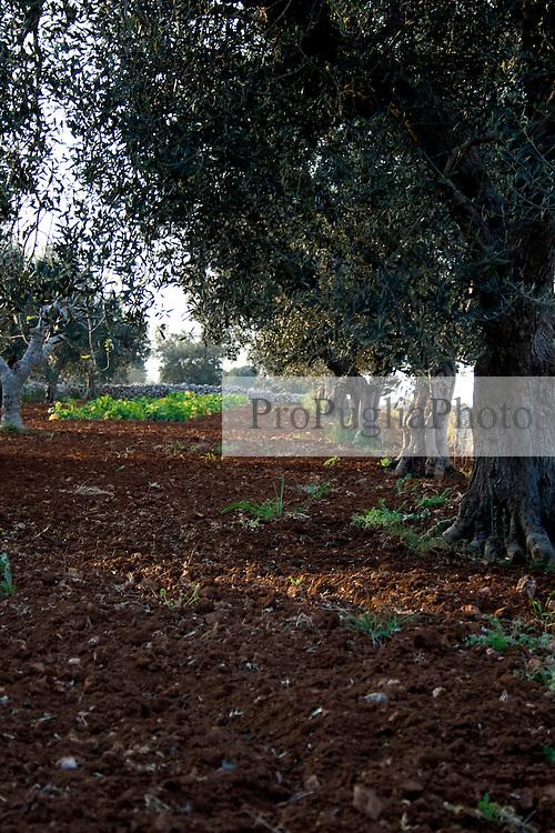 Foto di un'uliveto di una campagna di Alessano (Macurano) 10/04/2010