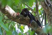 Red-handed Howler Monkey (Alouatta belzebul) from Cristalino Lodge, southern Amazon, Brazil.