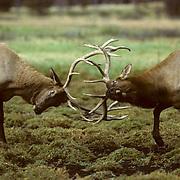 Elk, (Cervus elaphus) Two bull engage in pre-rut battle spar. Rockies.