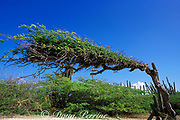 divi-divi tree with branches bent away from prevailing winds, Bonaire, Netherlands Antilles ( Caribbean Sea )