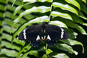 Adult male Orchard Butterfly on fern leaf, North Queensland, Australia
