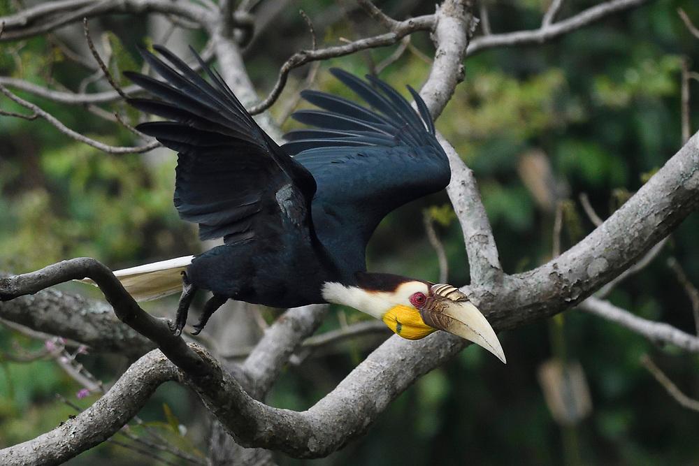 Wreathed hornbill, Aceros undulatus, bird flying at Tongbiguan nature reserve, Dehong Prefecture, Yunnan Province, China