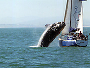 """Forty-ton whale lands on yacht during Cape Town sailing trip<br /> <br /> A couple who took a yacht for a quiet sailing trip were stunned when a 40-ton whale crash-landed on their boat off Cape Town.<br /> <br /> The pair were enjoying calm seas off the South African coast when the animal flipped into the air and smashed into their mast.<br /> Ralph Mothes, 59, and Paloma Werner, 50, were helpless as the beast thrashed around on their 33ft vessel before slipping back into the water.<br /> Miss Werner said: """"It really was quite incredible but very scary. The whale was about the same size as the boat.<br /> """"We'd spotted it about 100 metres away and thought that was the end of it. Then suddenly it was right up beside us.<br /> """"I assumed it would go underneath the boat but instead it sprang out of the sea. We were very lucky to get through it, as the sheer weight of the thing was huge.<br /> """"There were bits of skin and blubber left behind, and the mast was wrecked. It brought down the rigging too.<br /> """"Thank goodness the hull was made of steel and not fibreglass or we could have been ruined.""""<br /> Moments before the animal leapt it had pounded its tail on the surface of the water in a 'lob-tailing' ritual to communicate with other whales.<br /> The shaken couple, who are experienced seafarers with the Cape Town Sailing Academy, used their engine to get back to shore in Table Bay.<br /> Whales are a common sight in the Atlantic Ocean off the Western Cape coast at this time of year as they come near the shore to breed.<br /> Thousands of tourists flock to the region's seaside resorts every year to spot the mammals during the South African winter from June to November.<br /> Hermanus, a popular destination around 80 miles east of Cape Town, employs a 'whale crier' to walk through the town announcing where whales have been seen.<br /> ©Mike Behr/Exclusivepix"""