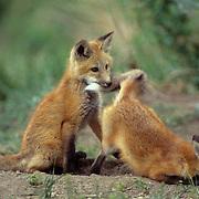Red Fox, (Vulpus fulva) Young fox pup biting tail of sibling near den. Spring.