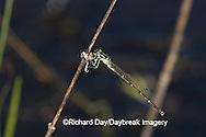 06326-001.04 Fragile Forktail (Ischnura posita) male in wetland, Marion Co.  IL