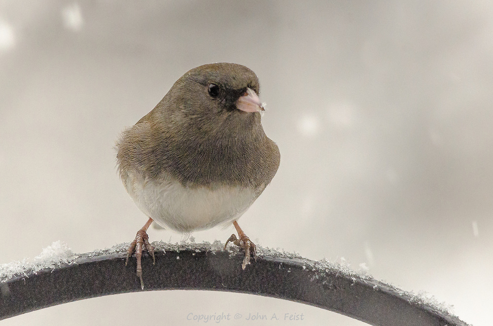 It must be a little warmer, or the annoyance about the flake on the nose is increasing!  This little bird is hardly puffed at all!