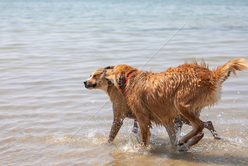 two dogs enjoying a run in a lake