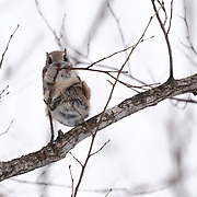 This is a species of flying squirrel called Ezo Momonga in Japanese (Pteromys volans orii). It is a sub-species of Siberian flying squirrels that is found on the island of Hokkaido in Japan. These squirrels are primarily nocturnal and usually shy, though the squirrels can occasionally be seen during the day. They prefer to take up residence in holes made by woodpeckers. Their diet primarily comprises leaves, seeds, cones, buds, sprouts, nuts and berries. Here, the momonga is eating buds of a Japanese elm tree (Ulmus davidiana var. japonica), known as harunire in Japanese. This species does not hibernate.