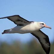 Layson Albatross, (Diomedea immutabilis) Adult in flight. Midway Island. Hawaii.