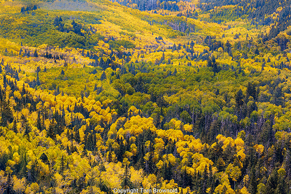 Autumn color in the Aspens forests of Northern Arizona