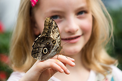 © Licensed to London News Pictures. 31/03/2015. London, UK. Ava Kennedy (aged six) with an owl butterfly on her hand at the Sensational Butterflies exhibition at the Natural History Museum in London. The Sensational butterflies exhibition runs at the Natural History Museum in London from 2 April 2015 to 13 September 2015. Photo credit : Vickie Flores/LNP