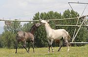 two horses play near Jose Saramago's birth place Aldeia da Azinhaga, central Portugal . Portuguese Nobel Prize of Literature, Jose Saramago, died at his house in Lanzarote on June 18. PAULO CUNHA/4SEEPHOTO