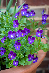 Viola 'Midnight' in terracotta pot