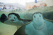 Feeding Bat Rays, Aquarium of the Pacific, Long Beach, Los Angeles County, California, USA