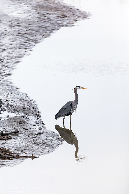 Great Blue Heron (Ardea herodias) standing along the shore of the Fraser River at Ladner Harbour Park.  Photographed along Mcneelys Trail in Delta, British Columbia, Canada