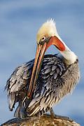 Brown Pelican in full breeding colors grooming.(Pelecanus occidentalis).La Jolla, California