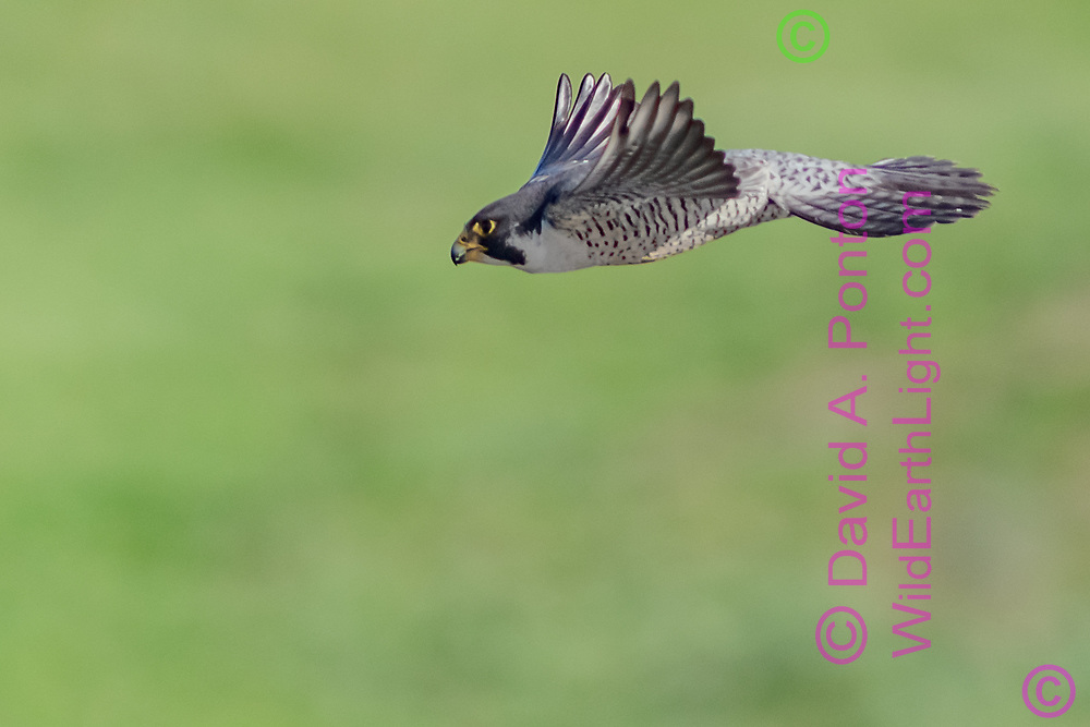 The force of leveling off from a high speed dive flexes the primary feathers on a peregrine falcon's wings, © David A. Ponton