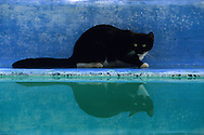 USA, Vereinigte Staaten Von Amerika: Hauskatze (Felis catus domesticus), Felidae, Katze am Swimming Pool im Garten, spiegelt sich im Wasser, das war der erste Pool in Key West, Hemingway Haus und Museum, Key West, Florida | USA, United States Of America: Domestic cat (Felis catus domesticus), Felidae, cat at the swimming pool in the garden, reflexion of the cat in the water, it was the first pool in Key West, Hemingway Home and Museum, Key West, Florida |