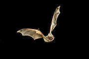 A hoary bat (Lasiurus cinereus) flying at night in the Kaibab National Forest, Arizona.