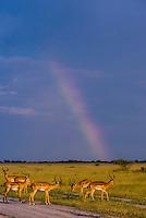 Herd of impala with rainbow in background, Nxai Pan National Park, Botswana.