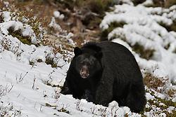 Black Bear, Glacier Natinal Park