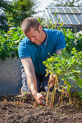 Removing top leaves from potatoes suffering from blight