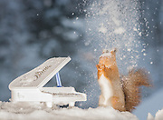 "EXCLUSIVE<br /> Photographer Pictures Squirrels With Tiny Musical Instruments Through Kitchen Window<br /> <br /> Some years ago, squirrels started to come to photographer Geert Weggen's  garden, He decided to build an outside studio from a balcony and started to shoot photos his kitchen window, Some days upto 6 squirrels visit Geert daily.<br /> <br /> This year Geert worked on an idea for a children's book, ""Squirrel Teaching You The Alphabet"", and was confronted with some letters like an object starting with an ""X"". That became a squirrel photo with a xylophone. From there Geert started doing a series of squirrel photos with music instruments. ""It took months to get some music instruments with the right size. I try to bring some magic, wonder and happiness with my work"", these are real photos. Sometimes I take away a wire or some food.<br /> <br /> Photo Shows: BAD CONCERT....red squirrels with piano and snow<br /> ©Geert Weggen/Exclusivepix Media"