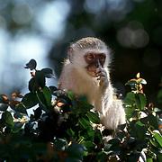 St Lucia  2002 07 Syd Afrika<br /> Langur <br /> Baby apa sittande i ett träd<br /> <br /> <br /> <br /> FOTO JOACHIM NYWALL KOD0708840825<br /> COPYRIGHT JOACHIMNYWALL:SE<br /> <br /> ****BETALBILD****<br />  <br /> Redovisas till: Joachim Nywall<br /> Strandgatan 30<br /> 461 31 Trollhättan<br />  Prislista: BLF, om ej annat avtalats